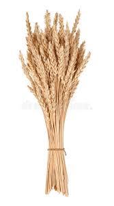Gavilla de trigo imagen de archivo. Imagen de trigo, gavilla ...
