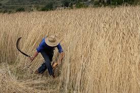 segar Cortar mieses o hierba con la hoz,... - La palabra del día | Facebook